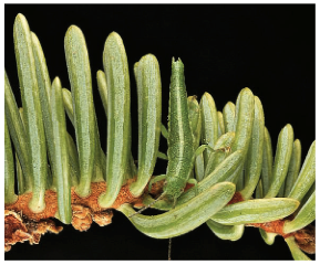 One ecotype features a distinct white stripe on its back and feeds on the thin, needle-like leaves of a shrub called Adenastoma.