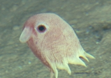 Grimpoteuthis sp.