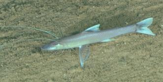 Bathypterois phenax