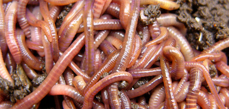 Getting down and dirty with the Earthworm Society ofBritain