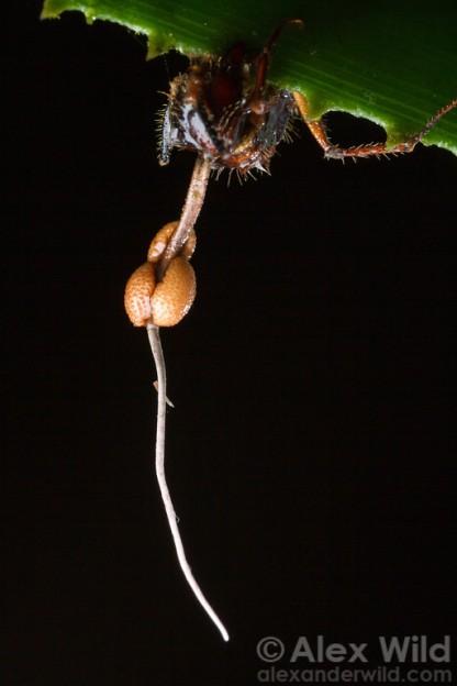 ophiocordyceps1-xl