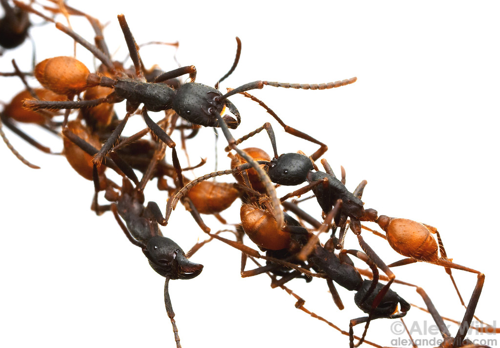"""""""All About Ants"""": A talk to the SelborneSociety"""